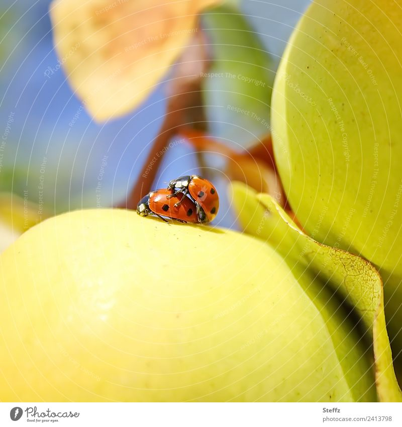 Happiness Nature Autumn Beautiful weather Quince Quince leaf Garden Fruit garden Ladybird Beetle Insect Pair of animals Cute Yellow Red Happy