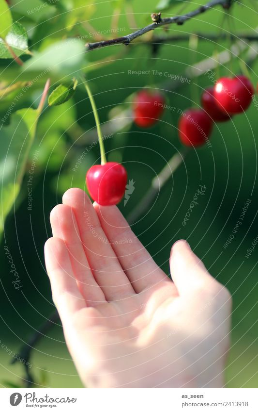 Nature Summer Plant Colour Green Hand Tree Red Leaf Eating Environment Food Garden Fruit Illuminate Nutrition