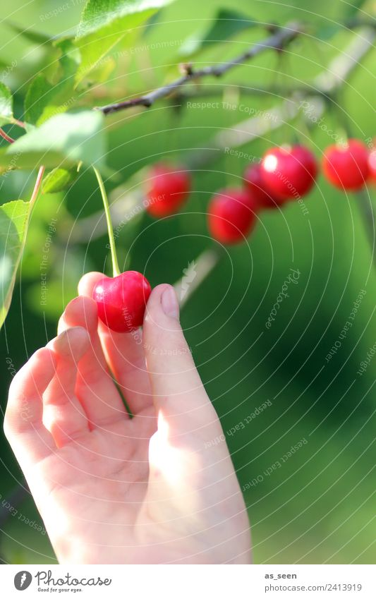 Nature Summer Plant Colour Green Hand Tree Red Leaf Eating Environment Food Garden Fruit Nutrition Growth