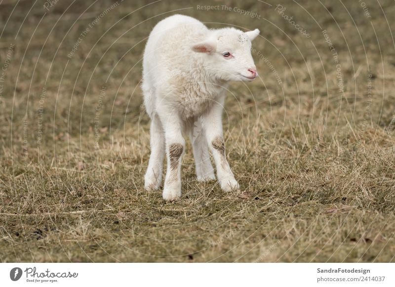 A little sheep is standing in the meadow Summer Baby Nature Garden Park Meadow Field Animal Farm animal 1 Baby animal Jump Love of animals mammal lamb