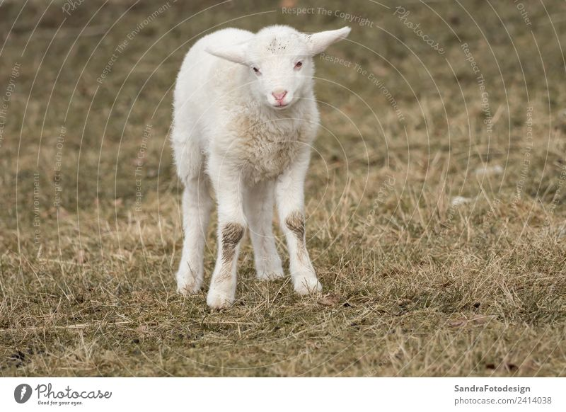 A little sheep is standing in the meadow Summer Baby Nature Garden Park Meadow Animal Farm animal 1 Baby animal Jump Love of animals mammal lamb agriculture