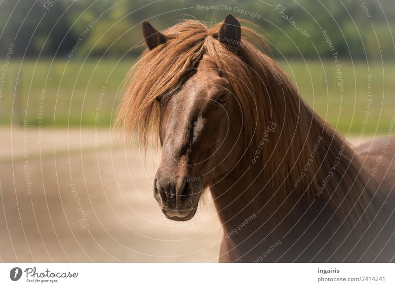 Nature Green Landscape Animal Life Natural Brown Contentment Field Joie de vivre (Vitality) Friendliness Horse Farm animal Love of animals Iceland Pony