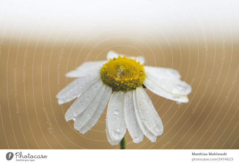 chamomile Relaxation Calm Meditation Garden Environment Nature Plant Drops of water Horizon Spring Flower Blossom Field Fragrance Healthy Positive Beautiful
