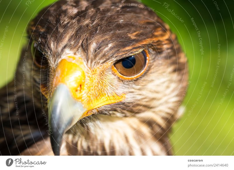 Portrait of Harris hawk. Hunting Hand Nature Animal Sky Tree Forest Sit Wild Brown Yellow Red White background Beak branch buzzard Eagle Falcon falconry Feather