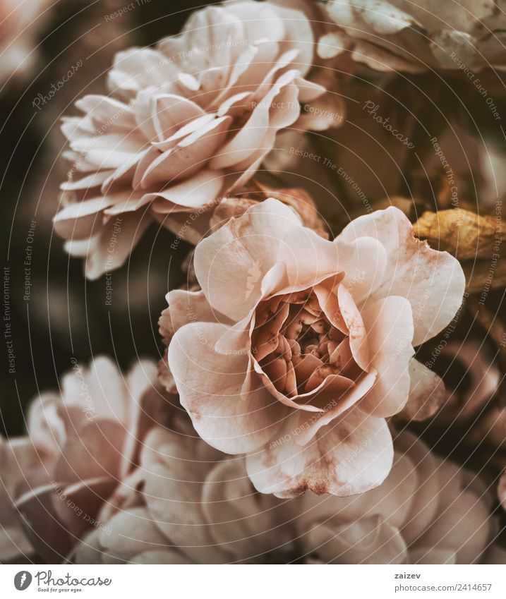 pink roses with vintage effect and a little dead Pot Beautiful Summer Garden Nature Plant Flower Blossom Wild plant Old Natural Yellow Green Pink Colour vinatge