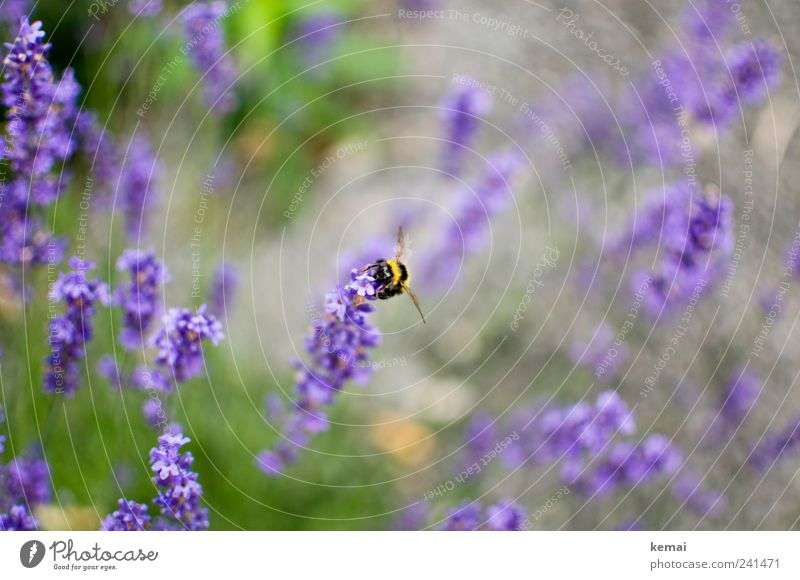 Yellow-black on purple Environment Nature Plant Animal Summer Beautiful weather Flower Blossom Foliage plant Wild plant Meadow Wild animal Bee Insect Bumble bee