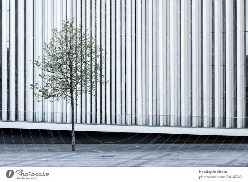 Single tree (beech) in front of modern white architecture Nature Tree Luxemburg Capital city Downtown Places Manmade structures Building Architecture Facade