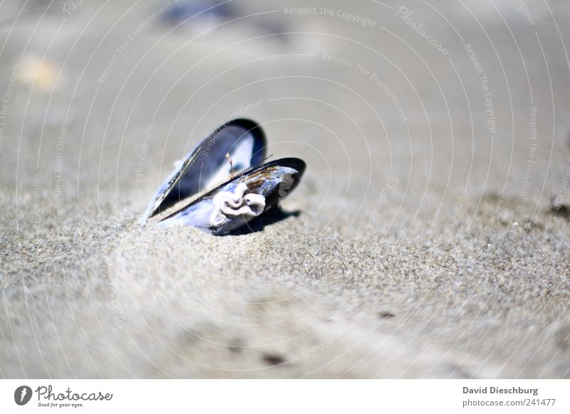 Nature Vacation & Travel Beach Calm Landscape Gray Sand Open Individual Still Life Mussel Sandy beach Edible Mussel shell