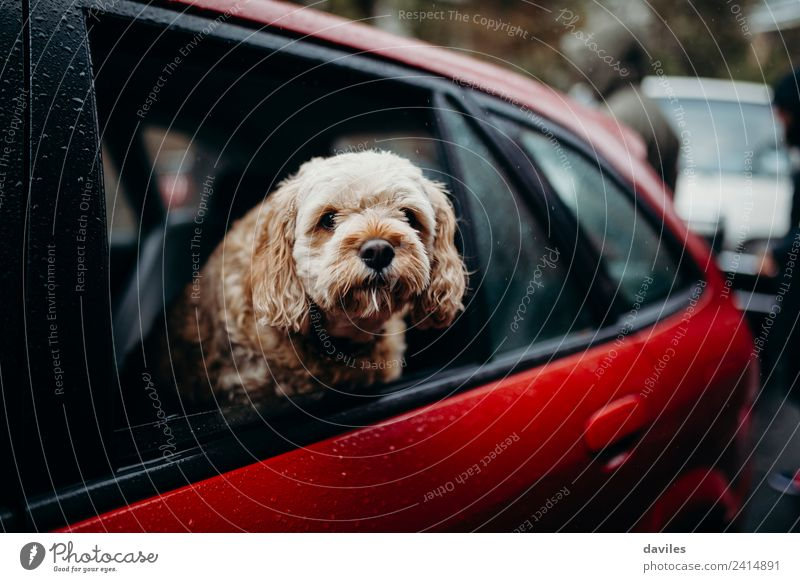 Cute dog showing the head through a car window. Vacation & Travel Trip Summer Animal Rain Transport Street Vehicle Car Pet Dog Driving Funny Red Puppy City
