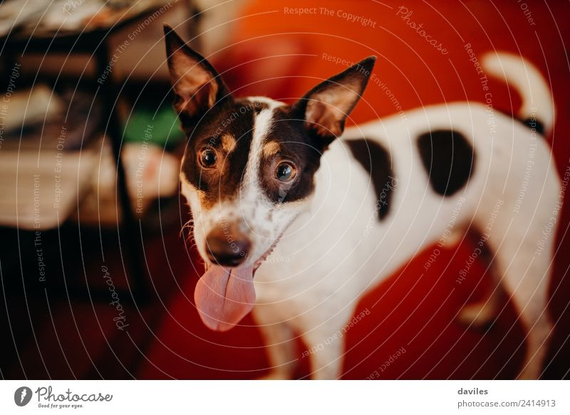 Cute dog looking at camera Living room Animal Pet Dog 1 Smiling Love Looking Stand Funny Brown White Expression Wine cellar Home Playful Ear Tongue Lovely