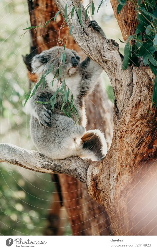 Grey koala climbing a tree Eating Beautiful Nature Animal Tree Leaf Forest Coast Wild animal Koala 1 Cute Gray Australia eucaliptus Western Bear eucalyptus