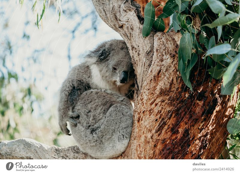 Cute koala holding on an eucalyptus tree Nature Tree Animal Forest Environment Gray Wild animal Sleep Serene Exotic Australia Victoria Sleeping place