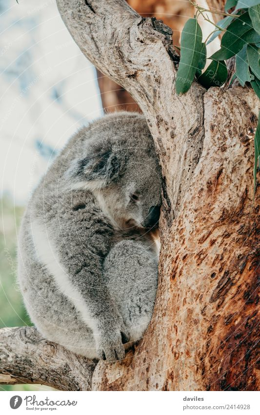 Grey koala sleeping on a tree branch Zoo Nature Animal Tree Koala Sleep Natural Cute Wild Gray Bear Australia up wildlife Mammal fauna Australian eucalyptus