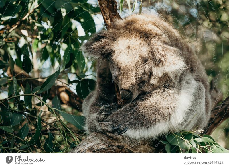 Cute koala sleeping Nature Tree Animal Leaf Forest Natural Gray Wild Wild animal Sleep Mammal Delightful Australia Bear Native