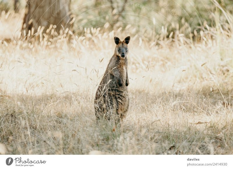 Little wallabee kangaroo Nature Plant Animal Grass Australia Victoria Wild animal Kangaroo Marsupial 1 Stand Friendliness Curiosity wallaby wildlife Mammal