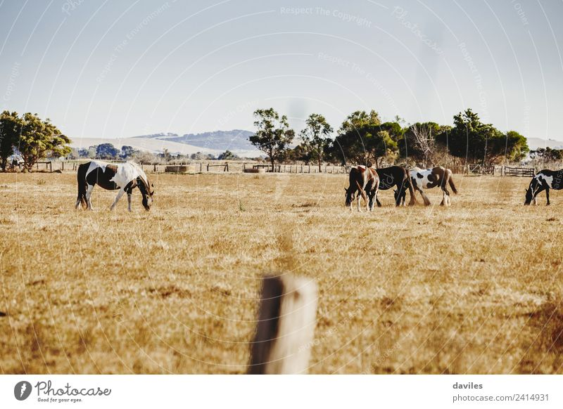 Beautiful landscape with wild horses Mountain Nature Landscape Animal Sky Tree Grass Australia Victoria Horse Group of animals Pack Animal family Eating Large