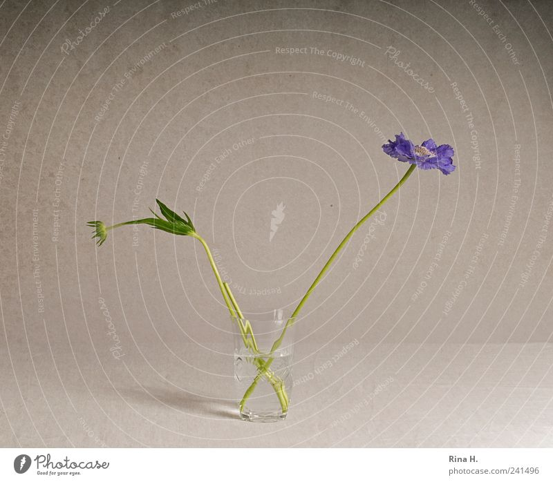 Scabioses in glass II Style Flower Blossom Decoration Blossoming Esthetic Violet scabious Bouquet bud Glass Vase Still Life Colour photo Interior shot Deserted