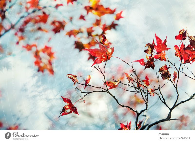 Nature Beautiful Tree Blue Red Summer Leaf Autumn Spring Bright Authentic Fantastic Natural Maple tree Twigs and branches Autumnal colours