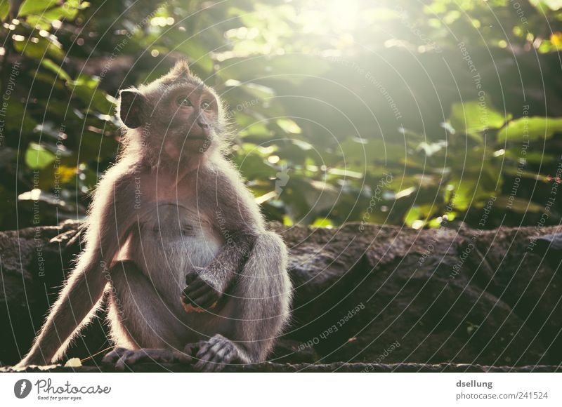 Bali IV Plant Tree Bushes Foliage plant Wild animal Monkeys macaque 1 Animal Natural Cute Brown Gray Green Ubud monkey forest Virgin forest Wall (barrier)