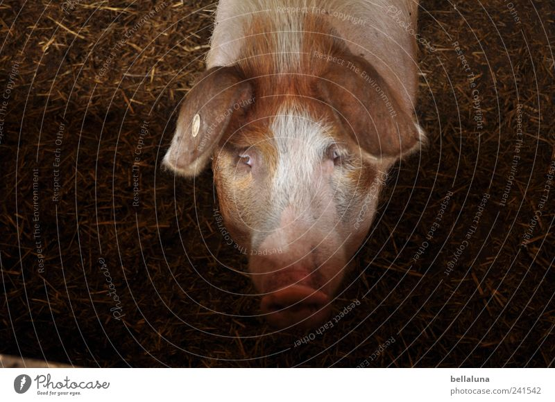An XXL lucky pig... Nature Animal Pet Farm animal Animal face 1 Observe Looking Swine Swinishness Pig head Pig's snout Eyes Colour photo Subdued colour
