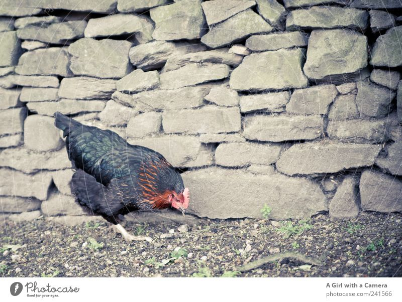 a happy chicken!!! Animal Farm animal Bird Wing Claw Barn fowl 1 Feeding Walking Authentic Happy Cute Black Search Rural Poultry Feather Agriculture Nature
