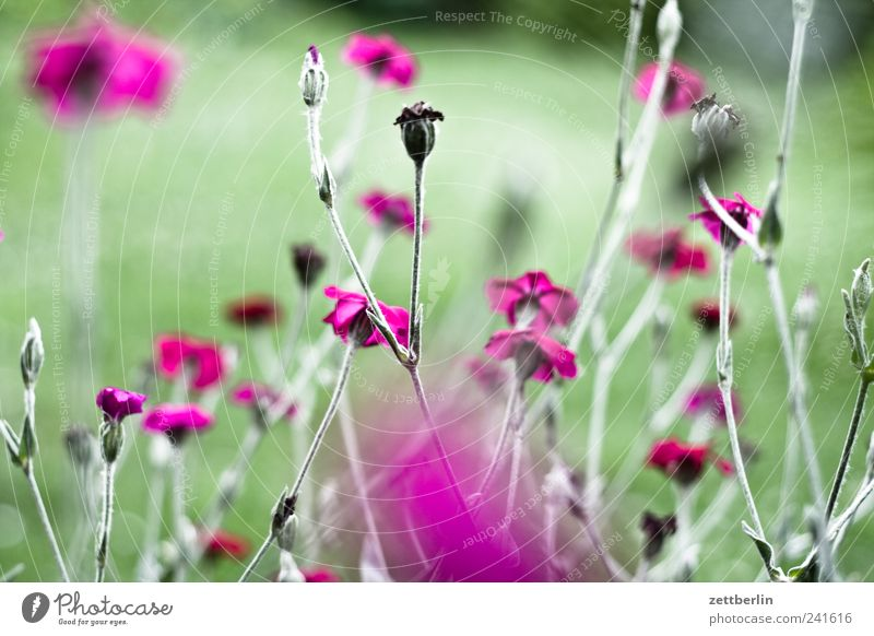 Nature Flower Green Plant Red Summer Leaf Blossom Garden Landscape Pink Environment Romance Climate Garden plot Dianthus