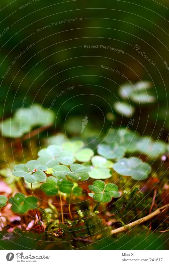 lucky clover Nature Plant Moss Leaf Growth Small Happy Four-leafed clover Good luck charm Clover Cloverleaf Woodground Colour photo Exterior shot Close-up
