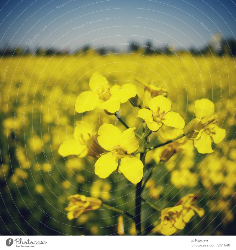 mellow yellow Environment Nature Landscape Plant Sky Cloudless sky Spring Summer Beautiful weather Flower Agricultural crop Field Blossoming Growth Canola