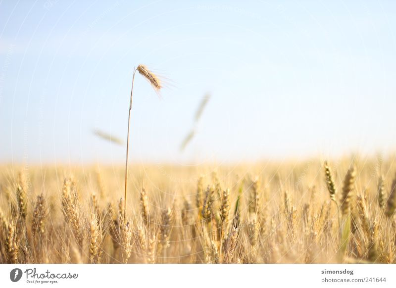 Sky Summer Landscape Exceptional Field Growth Idyll Power Blonde Large Beautiful weather Warm-heartedness Touch Target Dry Organic produce