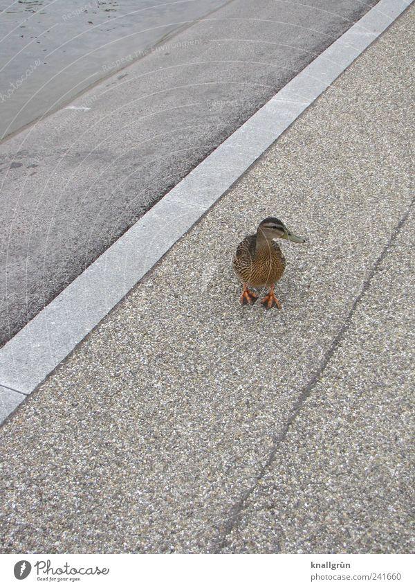 Water Animal Environment Gray Brown Stand Curiosity Asphalt Duck Interest Paving stone Mallard
