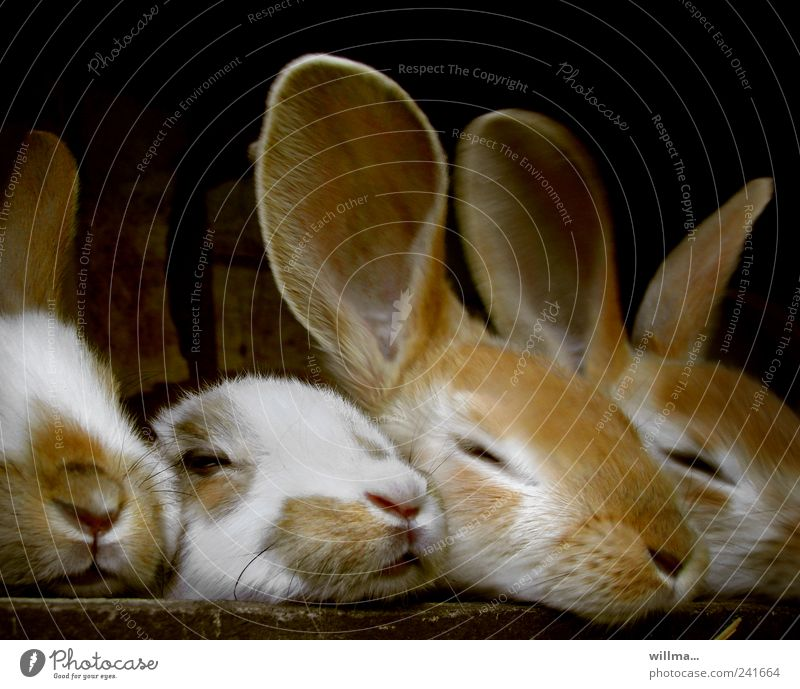 Three young rabbits and the Rabbit without Ears Pet Farm animal Pelt Hare & Rabbit & Bunny 4 Animal Group of animals Baby animal Attachment Relaxation Rest Cute