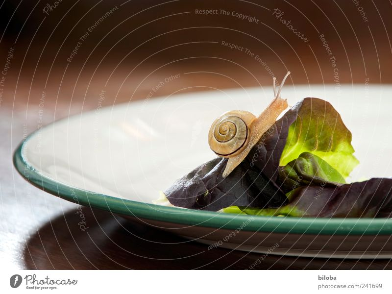 summiteers Food Lettuce Salad Nutrition Organic produce Plate Animal Wild animal Snail 1 Brown Green White Edge of a plate summit forward Snail shell Ambitious