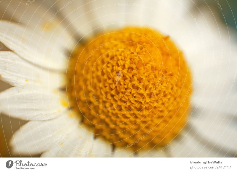 Macro close up camomile flowerstamen and petals Nature Summer Plant Colour White Yellow Spring Blossom Meadow Fresh Bud Blossom leave Pollen Daisy Family