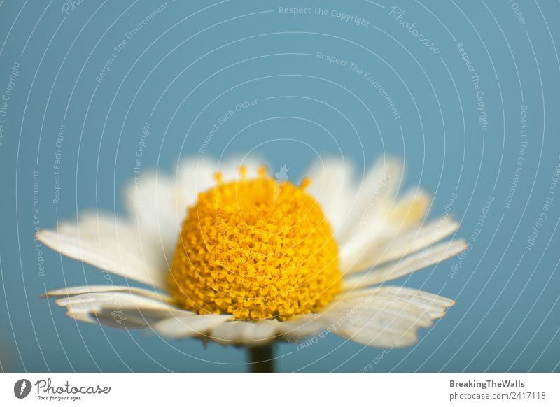 Close up one camomile flower over blue sky Nature Sky Cloudless sky Spring Summer Plant Flower Blossom Wild plant Beautiful Blue Multicoloured Yellow White