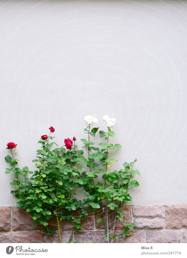 Snow White and Rose Red Summer Plant Bushes Leaf Blossom House (Residential Structure) Wall (barrier) Wall (building) Garden Blossoming Fragrance Growth
