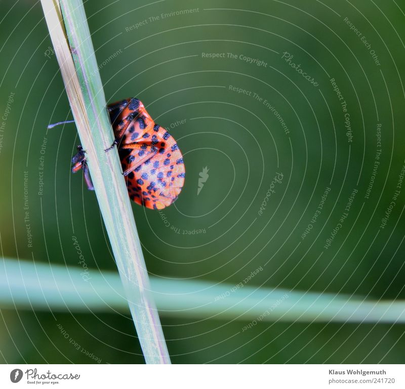 game of hide-and-seek Environment Nature Animal Plant Grass Meadow Beetle 1 Shield Exotic Green Red Black Firebug Shield bug Stripe Hide Insect imago Geometry
