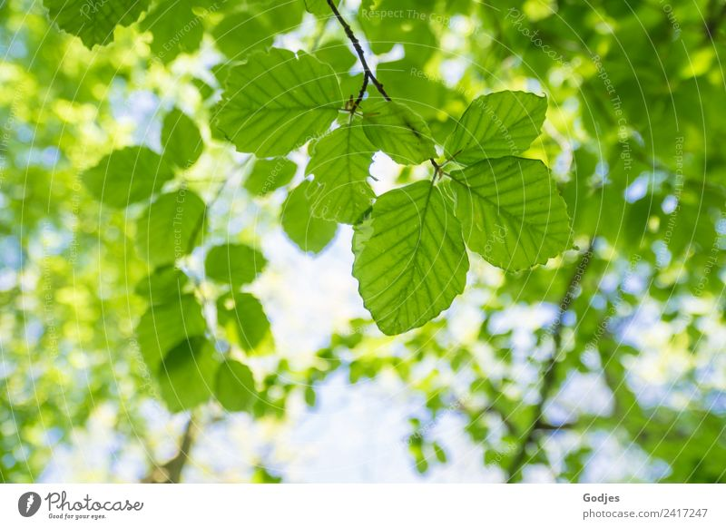 green leaves of a tree top Environment Nature Plant Sky Spring Beautiful weather Tree Leaf Beech tree Forest coast Fresh Bright pretty Green White Relaxation