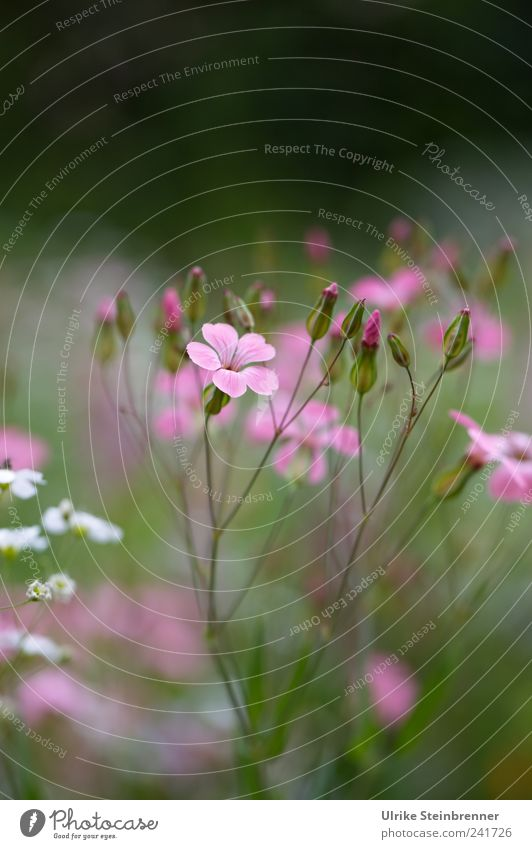 Nature Beautiful White Flower Green Plant Summer Blossom Garden Pink Environment Esthetic Growth Stand Soft Wild
