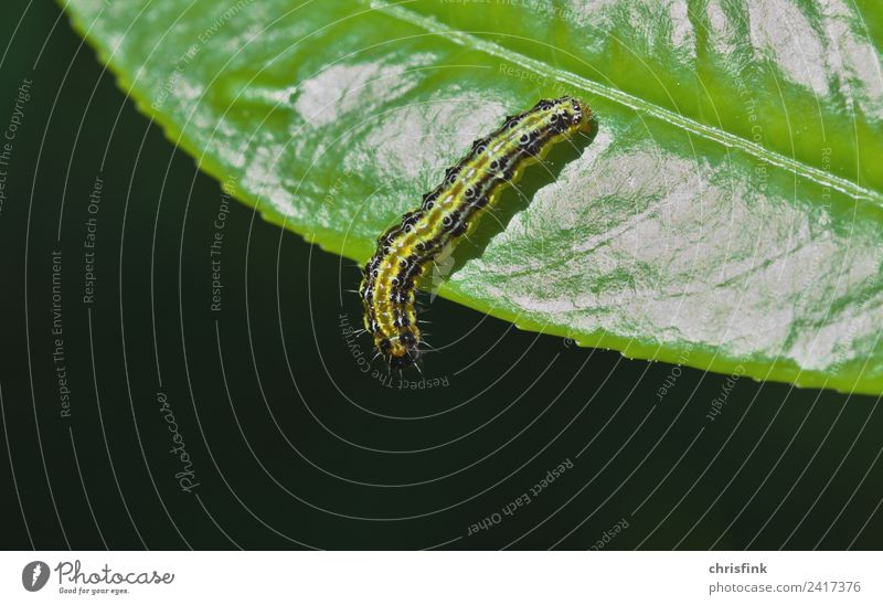Zünsler caterpillar on leaf edge Nature Plant Animal 1 Disgust Small Green Caterpillar Box tree Pests To feed Plagues Food Insect Butterfly bux Colour photo