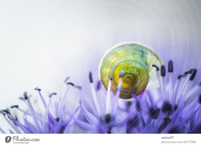 transparent Environment Nature Spring Summer Plant Flower Blossom ornamental garlic Animal Snail Snail shell Blossoming Fragrance Round Blue Yellow Esthetic Art