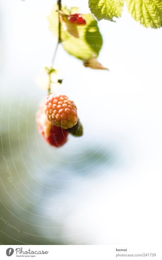 mature Food Fruit Raspberry Nutrition Organic produce Vegetarian diet Slow food Hang Growth Fresh Delicious Immature Colour photo Subdued colour Exterior shot