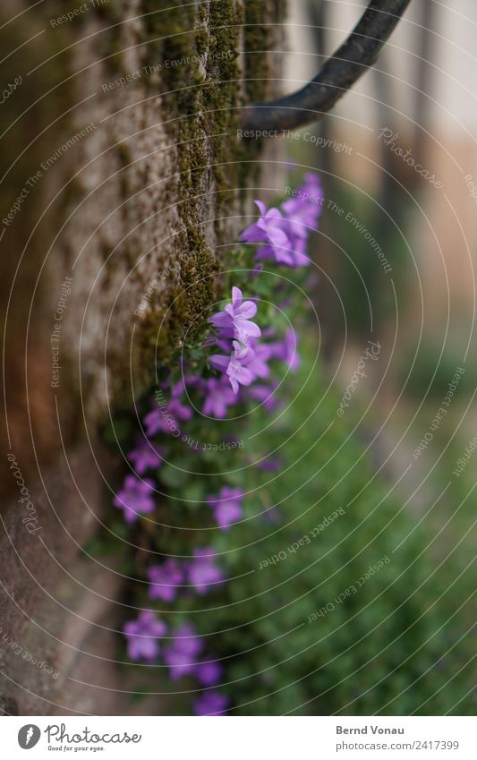 mauerBLÜMCHEN Flower Wall (barrier) Wall (building) Beautiful Hide wallflower Wall plant Moss Growth Survive Blossom Small Violet Delicate Gray Green Spring