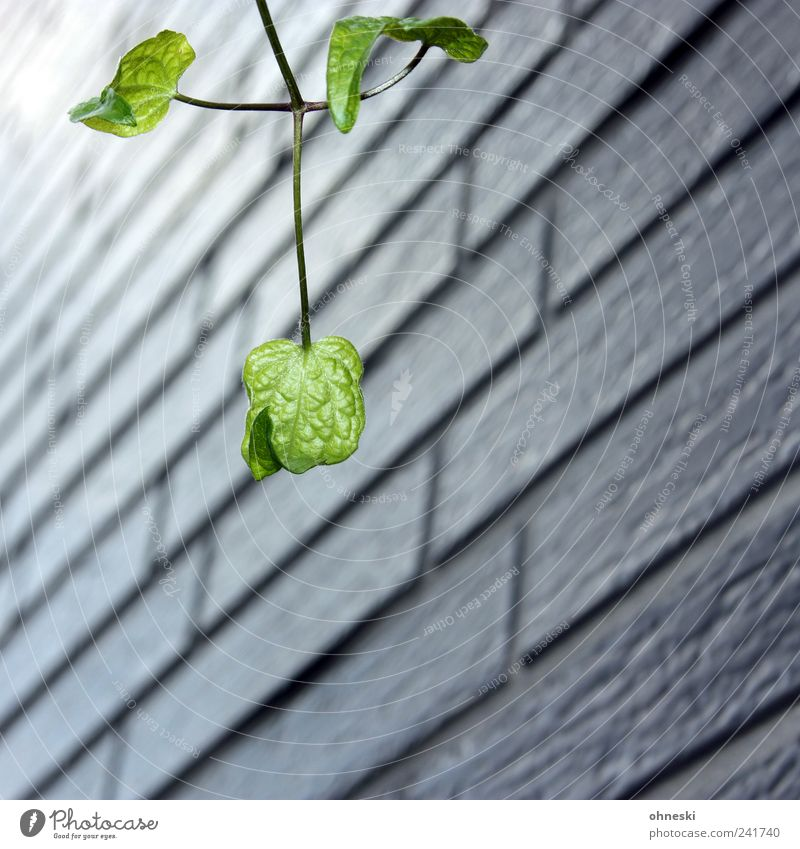 Nature Green Plant Leaf Life Wall (building) Wall (barrier) Facade Hope Growth Longing Twig