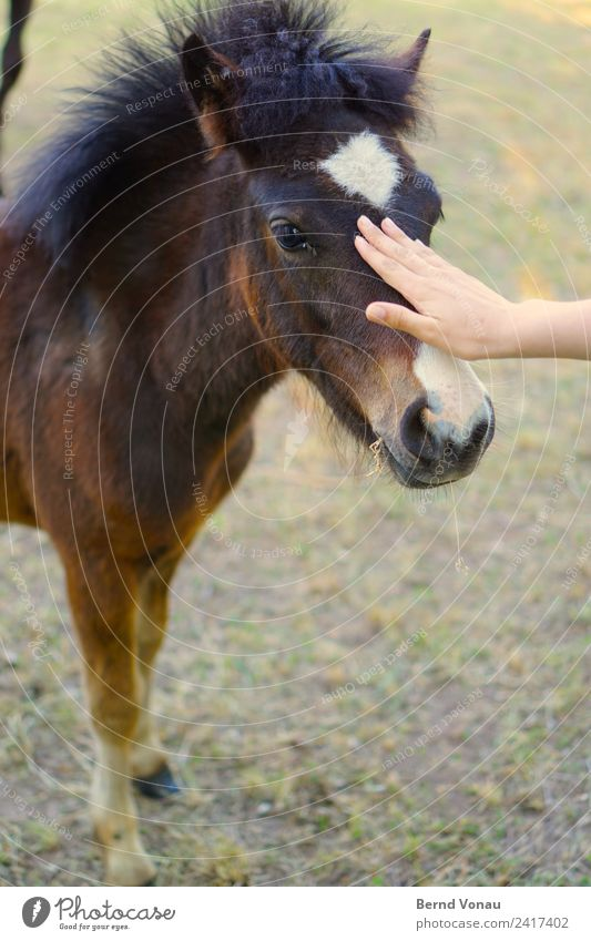 Kontiki Animal Horse 1 Baby animal Cuddly Caress Hair and hairstyles Pony Small Cute Smooth Nose Hand Caution Communicate Approach Near Brown Pelt Colour photo