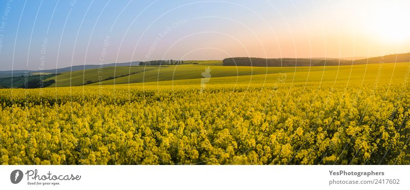 Panorama of rapeseed fields at sunset Nature Vacation & Travel Summer Beautiful Landscape Flower Yellow Natural Meadow Freedom Horizon Europe Idyll Hill Peace