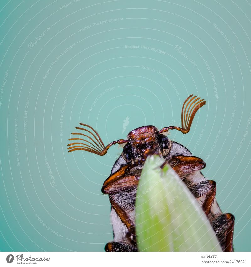 May bug fly Environment Nature Spring Leaf Animal Animal face Insect Beetle 1 Crawl Turquoise Spring fever Above Feeler Antenna Colour photo Exterior shot
