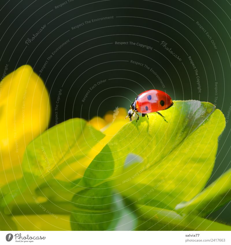 luminescent Nature Spring Plant Leaf Wild plant Euphorbiaceae Animal Beetle Insect Ladybird Seven-spot ladybird Crawl Yellow Orange Black Esthetic Movement
