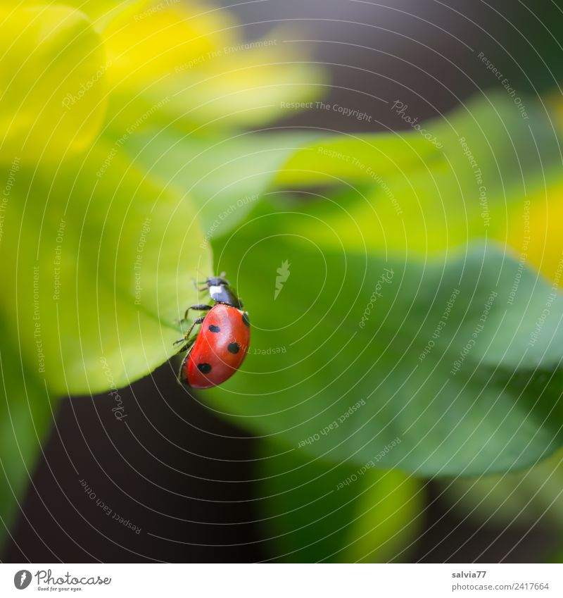 top of page Environment Nature Spring Summer Plant Leaf Foliage plant Animal Beetle Ladybird Seven-spot ladybird Insect 1 Crawl Small Above Positive Yellow