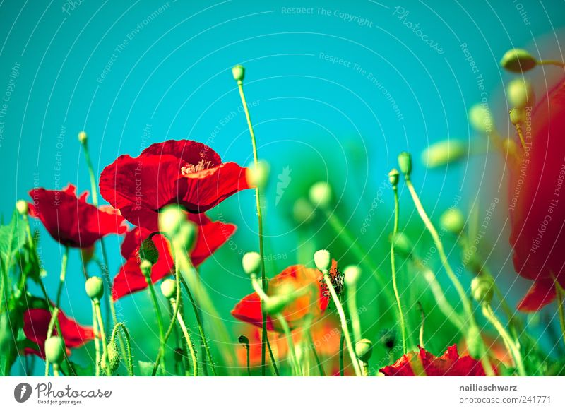 poppy dream Summer Painting and drawing (object) Nature Landscape Plant Beautiful weather Flower Blossom Foliage plant Wild plant Poppy Meadow Field Deserted