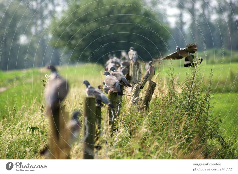 onlookers Environment Nature Landscape Plant Animal Beautiful weather Grass Bushes Field Wild animal Bird Pigeon Group of animals Fence post Wood Rutting season